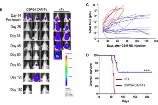 ▲CSPG4 타깃 CAR-T세포의 종양성장 억제 효과(출처: Pellegatta et al.,2018, Science Translational Medicine, DOI: 10.1126/scitranslmed.aao2731)