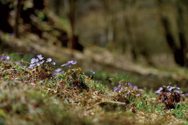 ▲깽깽이풀, 매자나무과의 여러해살이풀, 학명은 Jeffersonia dubia (Maxim.) Benth. & Hook.f. ex Baker & S.Moore(김인철 야생화칼럼니스트)