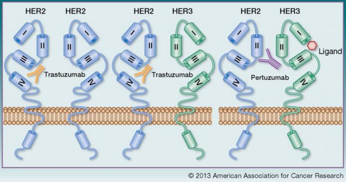▲그림 1 HER2 는 리간드 비의존적으로 HER2 혹은 HER3 과 이합체를 형성하여 신호전달경로를 활성화시킬 수 있는 한편, HER3 의 리간드 의존적으로 결합하여 신호전달경로를 활성화시킬 수 있다 [4]
