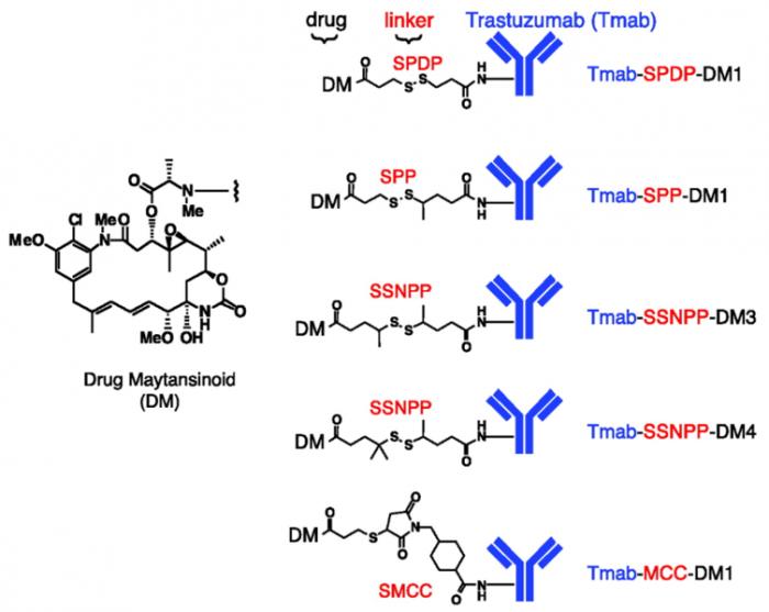 ▲그림 4 Trastuzumab에 다양한 방식으로 결합된 화합물. 어떤 링커 (linker)에 의해서 화합물이 결합되었는지에 따라서 항체-약물 결합체의 활성이 결정된다. SPDP, SPP, SSNPP의 링커는 이황화결합 (Disulfide bond)로 연결되어 세포내에서 항체와 화합물이 서로 떨어질 수 있지만, MCC라는 링커는 안정된 링커로써 화합물과 항체의 결합이 쉽게 해리되지 않는다. 애초의 기대와는 다르게 안정된 링커로 화합물을 항체에 연결하는 것이 항체-약물 결합체의 안정성을 유지하고 좀 더 높은 효과를 보이는 것이 확인되었다 [10]