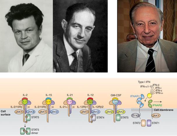 ▲그림 1 사이토카인의 최초 발견자들. 인터페론 (IFN)은 1957년 장 린덴만 (좌,Jean Lindenmann, 1924-2015) 와 알릭 아이삭 (중,Alick Isaacs, 1921-1965)에 의해 발견되었고, IL-2 는 로버트 갤로 (우, Robert Gallo, 1937-) 에 의해 처음 발견되었다. 인터루킨과 인터페론은 면역세포에서 다양한 수용체에 의해 인식되어 신호전달경로를 통하여 면역세포의 활성화를 유발하게 된다[3].