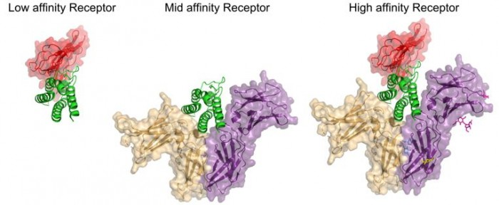 ▲그림 2  IL-2 리셉터와 IL-2 와의 복합체 구조[6]. 면역세포 내의 IL-2 리셉터는 IL-2에 대한 친화도에 따라서 3종류로 구분된다. IL-2 (녹색) 이 IL2RA (적색) 과 결합하는 친화력은 높지 않고, 신호전달은 일어나지 않는다. 그러나 IL2RB(황색) 과 IL-2Rγ (보라색) 으로 구성된 리셉터는 좀 더 IL-2 과 강하게 결합하여 신호전달을 일으킨다. 그리고 IL2RA, IL2RB, IL-2Rγ 로 구성된 3개의 수용체를 이루는 단백질 체인이 모두 결합하면 IL-2에 강한 친화력을 가지게 되어 IL-2 에 민감하게 반응한다. 중간 정도의 활성을 보이는 수용체는 메모리 T세포, NK 세포에 존재하며, 활성화된 T세포나 조절 T 세포 (Treg)에는 강한 친화력을 가지는 IL-2 수용체가 존재하여 각각 IL-2 에 다른 방식으로 반응하게 된다.