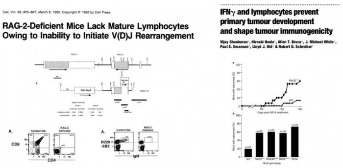▲그림 4 1990년대에 등장한 RAG2(-/-) 낙아웃 마우스와 IFN-γ 관련 연구를 통하여 동물모델에서 암 면역감시기능이 실제로 존재한다는 것이 입증되었다. V(D)J 재조합을 수행하는 유전자인 RAG2 가 파괴된 낙아웃 마우스에서는 B세포, T세포 등의 임파구가 완전히 결핍되어 있음이 확인되었으며 [21], 새로운 동물모델을 이용한 실험을 통하여 임파구와 IFN-γ 의 억제가 암 발생의 빈도를 높인다는 것이 실험적으로 입증되었다 [22].
