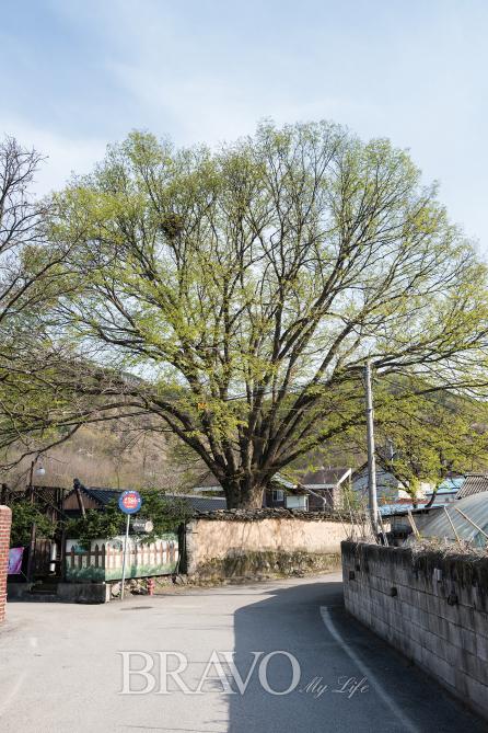 ▲시나브로 와이너리 뒷마당에는 수령 150년이 넘는 느티나무가 한눈에 들어온다.(김수현 player0806@hotmail.com)