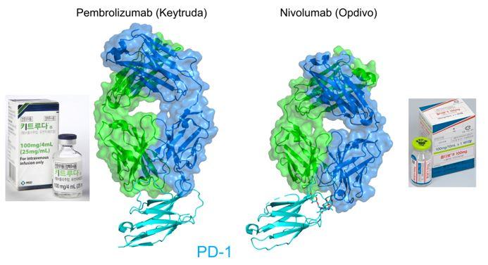 ▲그림 2. 펨브롤리주맘 (좌) 와 니볼루맙 (우)  PD-1 과의 단백질 결합구조. 두가지의 항체는 동일한 타겟인 PD-1 과 결합하여 이의 원래 리간드인 PD-L1 과의 결합을 억제하나 위의 단백질 복합체 구조 (PD-1 : 하늘색, 항체 : 녹색,청색으로 표시) 에서 보는 것처럼 상이한 방식으로 PD-1 에 결합한다. 펨르롤리주맙은 마우스의 단일항원항체를 인간화 기술을 이용하여 인간화한 항체이나, 니볼루맙은 메다렉스가 보유한 인간항체 유전자를 가진 형질전환 생쥐를 이용하여 찾은 완전인간항체이다. 이들은 2014년 각각 키트루다와 옵디보라는 상품명으로 판매가 허가되었다.