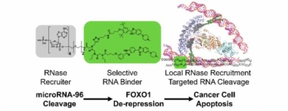 ▲스크립스연구소 플로리다캠퍼스 연구팀은 암세포를 사멸시키는 RNA 편집도구를 개발했다(출처: Journal of the American Chemical Society, 2018, doi: 10.1021/jacs.8b01233)