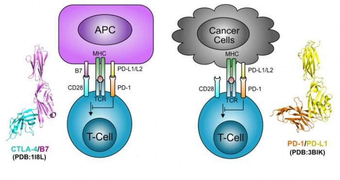 ▲그림 2 : PD-1은 APC 혹은 다른 세포 (예 암세포) 표면에 있는 리간드인 PD-L1/L2 와 상호작용하여 T세포의 증식을 억제한다. CD8 T세포가 APC 혹은 암세포로부터 항원 자극을 계속적으로 받으면, T 세포는 탈진 (exhaustion) 된 상태로 빠져서 실제로 세포독성의 활성을 잃어버리며, 이 과정에서 PD-1/PD-L1 의 상호작용이 필수적이다. CTLA-4 의 리간드인 B7은 APC에만 존재하는 반면, PD-L1/L2 의 경우 APC뿐만 아니라 여러가지 면역세포 및 암세포의 표면에도 존재하여 T세포의 활성을 억제한다. 단백질 구조에서 보는 것처럼 B7과  PD-L1 은 구조적으로 유사한 단백질로써, CTLA-4/B7의 상호작용은 PD-1/PD-L1 의 상호작용과 흡사하게 이루어진다.