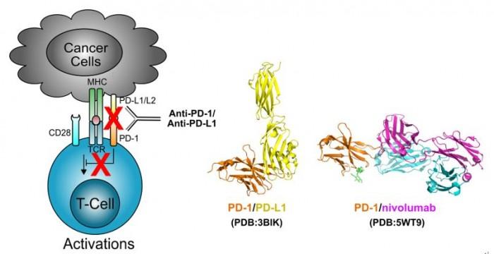 ▲그림 3: PD-1과 PD-L1간의 상호작용을 억제시킴으로써 암 항원을 인식하는 T세포의 무력화를 억제할 수 있게 된다. PD-1 에 특이적인 인간항체 nivolumab 은 PD-1과 PD-L1 간의 상호작용을 억제함으로써 T세포의 활성화를 유발한다.