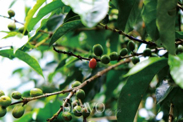 ▲이르가체페 커피농장(이화자 작가 제공)