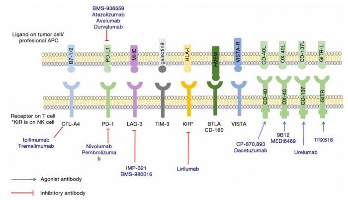 ▲그림 2 : 현재 임상에서 검증되어 면역체크포인트 억제제로 허가난 CTLA-4와 PD-1 이외에도 다양한 면역체크포인트 단백질과 이들을 저해 혹은 활성화하는 다양한 항체에 대한 전임상/임상 연구가 진행되고 있다 [14].