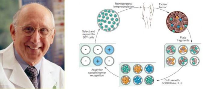 ▲그림 1 : (좌) 면역세포 이식에 의한 항암치료의 선구자인 NCI의 스티븐 로센버그 (Steven A Rosenberg) (우)  종양침윤 T세포 (Tumor Infiltrating Lymphocyte : TIL) 에 의한 자가세포치료의 개념. 환자로부터 종양 조직을 채취한 후 종양 내에 침투해 있는 T세포를 분리하기 위하여 종양 조직을 분쇄한 후, T세포의 성장을 촉진하는  IL-2 존재하에서 배양한다. 이렇게 생성된 T 세포 중에서 암 특이적인 항원을 인식하는 T세포를 배양하여 증식시킨 후 환자에 다시 주입한다. 이렇게 주입된 T 세포가 암 조직을 공격하여 항암효과를 유도하게 된다 [3].