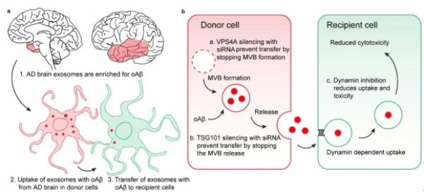 ▲엑소좀이 알츠하이머병 병인요인으로 꼽히는 독성 베타아밀로이드(Aβ) 올리고머를 세포 간에 전파시킬 수 있다는 연구결과가 나왔다.(출처: Sinda et al., 2018, Acta Neuropathologica, doi: 10.1007/s00401-018-1868-1)