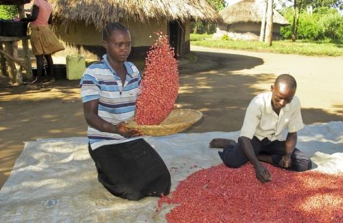 ▲지난해 11월 우간다의 은워야구의 한 농부 부부가 콩을 고르고 있다. 은워야/AP뉴시스