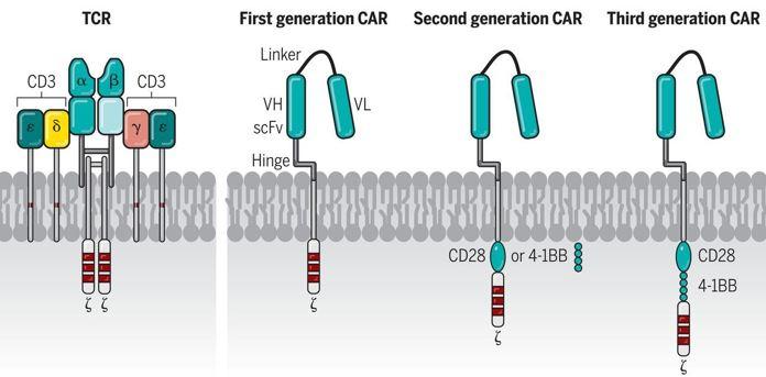 ▲그림 1 : TCR과 1,2,3세대 CAR의 비교(June et al, Science, 2018). T세포에서 항원-MHC 복합체를 인식하는 TCR 복합체는 항체와 유사한 alpha, beta 체인, 그리고 여기에 결합하여 있는 제타 사슬, 그리고 CD3 복합체 등 여러 단백질로 구성되어 있는 복합체로 구성된다. TCR은 항원-MHC 복합체와 결합하여 신호전달경로를 활성화시켜 T 세포를 활성화시킨다. 제 1세대 CAR는 항원을 결합할 수 있는 scFv 와 CD3 의 제타 체인이 결합되어 있는 단순한 구조였다. 그러나 1세대 CAR는 항암 반응을 유발할 만큼 강력하게 T 세포를 활성화할 수 없다는 단점을 가지고 있었다. 이를 극복하기 위해서 CD28 혹은 4-1BB (CD137)과 같은 공동자극인자의 도메인을 가지고 있는 2, 3세대 CAR가 등장하였고, 항원 결합에 의해서 TCR 경로뿐만 아니라 공동자극인자의 신호경로까지 활성화시켜서 완전한 T세포의 활성화를 이룰 수 있도록 하였다.