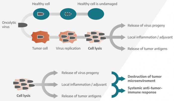 ▲ViraTherapeutics 항암바이러스 항암작용 메커니즘 소개