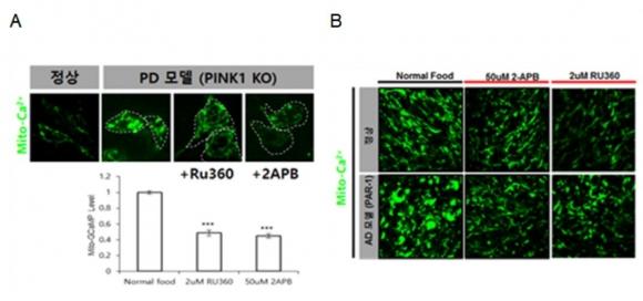 ▲파킨슨병 초파리 모델(PINK1 KO)과 알츠하이머병 초파리 모델(PAR-1)에서 나타난 미토콘드리아 칼슘 증가현상과 화합물의 억제효과 (그림: 한국생명공학연구원 제공)