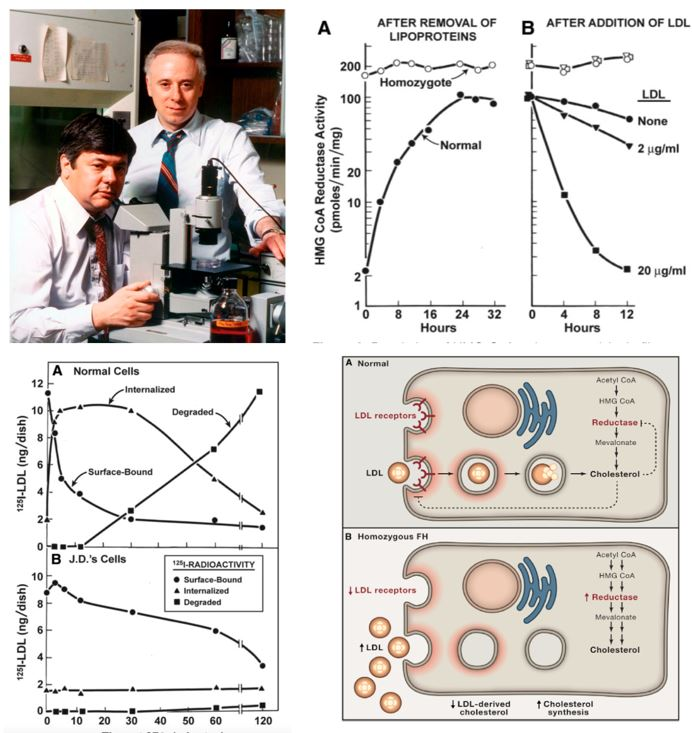 ▲그림 1. LDL 리셉터 발견의 주역인 마이클 브라운 (좌) 와 조셉 골드슈타인 (우). 이들은 유전성 고콜레스테롤증 환자의 피부세포를 모델 시스템으로 이용하여 혈액 중의 LDL의 흡수가 세포내의 콜레스테롤 생합성과 직접적으로 관련있다는 것을 규명하였다. 정상세포의 경우 혈액 중에서 LDL을 제거하면 콜레스테롤 생합성의 핵심 단계인 HMG 환원효소의 수준이 점차 증가하나, 유전성 고콜레스테롤증 환자 유래의 세포에서는 HMG 환원효소가 LDL의 존재 여부와 관계없이 항상 높게 나타난다. 유전성 고콜레스테롤증 환자는 LDL을 세포로 흡수할 수 없으며,따라서 LDL를 세포 내에서 분해하여 콜레스테롤을 흡수할 수 없다. 정상 세포는 혈액 중의 LDL을 흡수하여 콜레스테롤을 흡수하고, 세포 내의 콜레스테롤합성은 억제되는 반면, 유전성 고콜레스테롤증 환자에서는 혈액 중의 LDL을 흡수할 수도 없고, 세포 내에서의 HMG 환원효소는 계속 활성화되어 계속 콜레스테롤을 합성하기 때문에 LDL 유래의 콜레스테롤 및 세포 유래의 콜레스테롤 합성 모두 증가하게 된다[6].