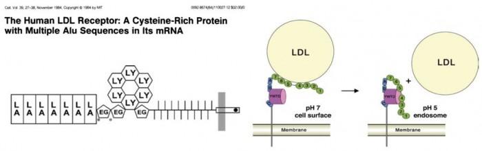 ▲그림 2. LDL 리셉터 유전자는 N말단에 LDL이 붙는 LA 반복부분과 가운데 부분의 EGF 유사 영역, 그리고 생체막을 통과하는 영역과 약 50아미노산 가량으로 구성된 세포질 내 부분으로 구성되어 있다.  LDL가 세포 내로 흡수되지 못해서 유전성 고콜레스테롤혈증을 앓게 된 존 데스포라의 LDL 리셉터에는 세포질 내 부분에 돌연변이가 존재하여 (점으로 표시된 부분) LDL 리셉터가 엔도사이토시스로 세포 내로 이동하지 못하게 되었다. LDL 은 세포 표면에서 LDL 리셉터의 LA 반복부위에 붙어서 흡수되고, 세포 내의 엔도솜 (endosome)에서 pH가 올라가면 LDL 리셉터와 떨어져서 콜레스테롤을 방출하게 된다[10].