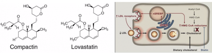 ▲그림 2. (좌) 컴팩틴(Compactin)과 로바스타틴 (Lovastatin)의 구조의 차이. 컴팩틴과 로바스타틴의 차이는 극히 미세하다. (우) 스타틴에 의한 혈장 내 LDL 콜레스테롤의 감소 기전. HMG-CoA 환원효소의 억제제인 스타틴에 의해서 세포 내 콜레스테롤의 생성이 저해되면, 세포는 이를 감지하여 SREBP 신호전달경로에 의해서 HMG-CoA 환원효소와 LDL 수용체의 발현을 증가시킨다. 세포 표면에 증가한 LDL 수용체에 따라서 더 많은 혈액 중의 LDL 콜레스테롤이 세포로 흡수되며, 혈액 중의 LDL 콜레스테롤 농도는 낮아지게 된다[9]