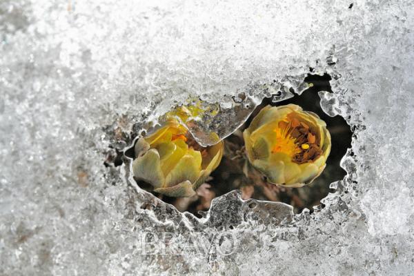 ▲복(福)과 장수[壽]를 기원하는 복수초(김인철 야생화 칼럼니스트)