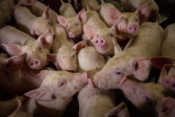 ▲꿀 돼지, 2018(박찬원 작가 제공)