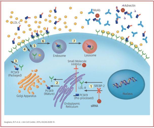 ▲그림 1 : PCSK9 은 ER에서 자체의 단백질 분해효소 활성에 의해서 프로세싱된 이후 세포 밖으로 방출된다. PCSK9은 LDL 리셉터와 결합하고, PCSK9 과 결합한 LDL 리셉터는 세포내흡수 (Endocytosis)를 통하여 세포 내로 다시 흡수되어 라이소솜에서 분해된다. 결과적으로 PCSK9 는 간세포에서 LDL 리셉터의 수준을 조절해주는 네거티브 조절 인자로 작용한다. 만약 PCSK9 가 제 몫을 하지 못한다면 간세포 내의 LDL 리셉터의 양이 많아지고, 증가된 LDL 리셉터는 보다 많은 LDL 입자를 세포 내로 흡수시킬 것이므로, 혈중 LDL 콜레스테롤의 농도는 낮아진다[9].