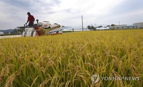 ▲벼가 누렇게 익은 가을 들녘 전경.(연합뉴스)