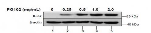 ▲PG102 용량에 따른 IL-37 증가. 피부 각질 세포에 PG102를 농도별로 처리한 결과, IL-37의 단백질 발현량이 PG102에 의해 농도 의존적으로 증가하는 것을 보여줌. 바이로메드 제공.