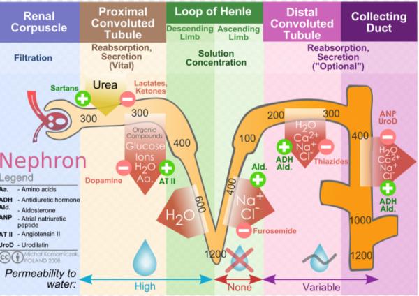 ▲그림 1 : 티아자이드 (thiazide) 계 이뇨제는 신장 네프론 (Nephron)의  이뇨곱슬세관 (Distal Convoluted Tubule) 에서의 Na+/Cl- 공동수송인자를 억제하여 이온의 재흡수를 억제하여 이뇨 효과를 낸다.