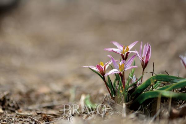 ▲'야생 백합' 산자고. 백합과의 여러해살이풀, 학명은 Tulipa edulis (Miq.) Baker.(김인철 야생화 칼럼니스트)