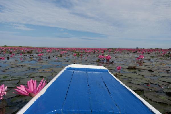 ▲12월에서 2월 사이 붉은 연꽃이 바다를 이루는 우돈타니 레드로터스시(Red Lotus Sea)(이화자 작가 제공)