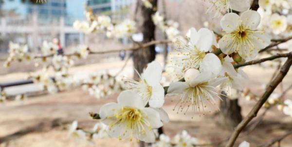 ▲포근한 봄 날씨를 보이는 18일 오후 서울 영등포구 여의도공원에 매화꽃이 꽃망울을 터트리고 있다. (뉴시스)