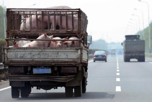 ▲중국 산둥성 지난시에 돼지를 실은 트럭이 고속도로를 달리고 있다. 지난/뉴시스