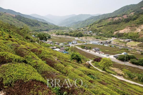 ▲하동 화개 산비탈 야생차 밭(김혜영 여행작가)