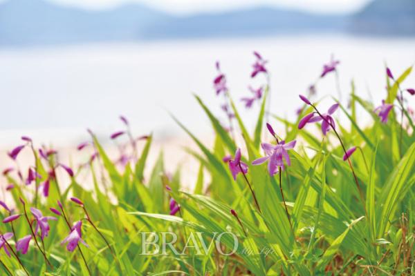 ▲학명은 Bletilla striata (Thunb.) Rchb.f. 난초과의 여러해살이풀.(김인철 야생화 칼럼니스트)
