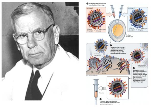 ▲그림 1.(좌) 달걀 수정란을 이용한 바이러스 배양법을 개발한 병리학자 어네스트 굿패스쳐 (Ernest Goodpasture, 1886-1960). 그는 1931년 앨리스 우드러프 (Alice M. Woodruff) 와 유진 우드러프 (Eugene Woodruff)와 함께 수정란의 양막에 닭 천연두 바이러스를 접종하여 수정란 안의 닭 배아를 이용하여 바이러스를 배양하는 방법을 개발했고, 이 방법은 황열병 바이러스, 인플루엔자 바이러스 등의 백신을 개발하는데 결정적인 공헌을 하였다.