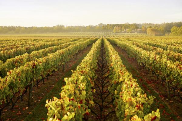 ▲오클랜드의 와인지대 풍경.(사진제공=이하 뉴질랜드관광청)
