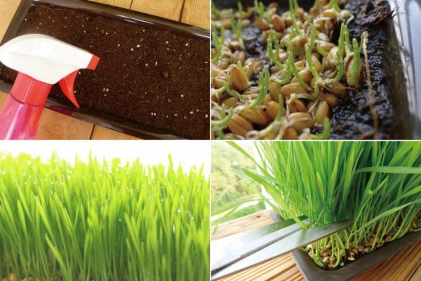 ▲밀싹 재배(야미가든 제공)