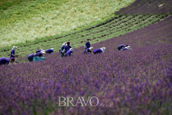 ▲여름 홋카이도를 즐길 때 빠뜨려서는 안 되는 라벤더 꽃밭. (이준호 기자 jhlee@)