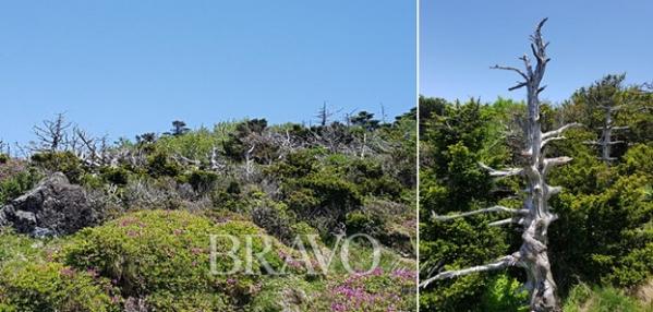 ▲구상나무와 철쭉(좌), 하얗게 고사해버린 구상나무(우)(허계숙 동년기자)
