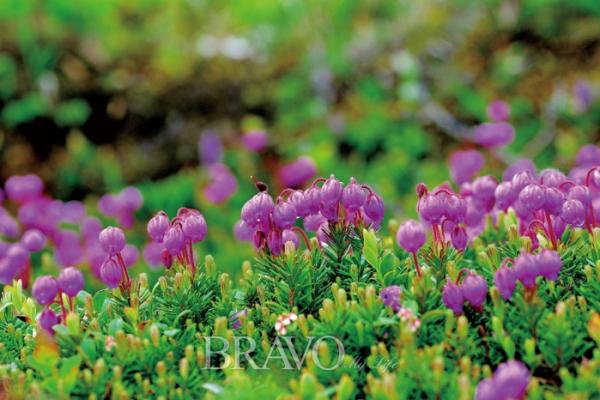 ▲학명은 Phyllodoce caerulea (L.) Bab. (김인철 야생화 칼럼니스트)
