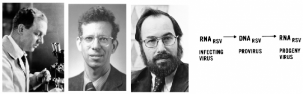 ▲그림. 레트로바이러스 연구의 기여자들. 페이튼 라우스 (좌,Peyton Rous, 1879-1970)은 닭의 종양 조직에서 최초의 레트로바이러스인 라우스 사코마 바이러스 (Rous sarcoma virus, RSV)를 발견한다. 하워드 테민 (중, Howard Temin, 1934-1994) 은 체외 배양 세포에 바이러스를 감염시켜서 암화되는 콜로니를 통하여 순수한 바이러스 돌연변이주를 분리하는 테크닉을 만들었으며, 나중에 데이비드 발티모어 (우, David Baltimore, 1938- ) 와 함께 RSV의 RNA 지놈을 DNA로 복제하는 역전사효소 (Reverse Transcriptase)를 발견한다. 테민이 제창한 프로바이러스 (Provirus) 가설은 레트로바이러스가 RNA와 DNA 상태를 오가며, RNA지놈으로부터 역전사효소에 의해서 만들어진 프로바이러스 (Provirus)가 숙주 세포의 지놈에 들어가서 숙주 세포의 복제와 동시에 자신을 복제하는 기전을 설명한다.