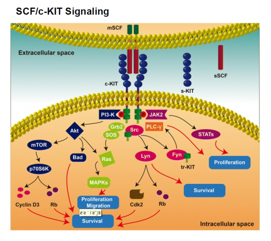 ▲SCF/c-KIT 신호체계 모식도 (노벨티노빌리티 제공)(J CELL COMMUN SIGNAL 10.1007/s12079-017-0399-1, 2017)