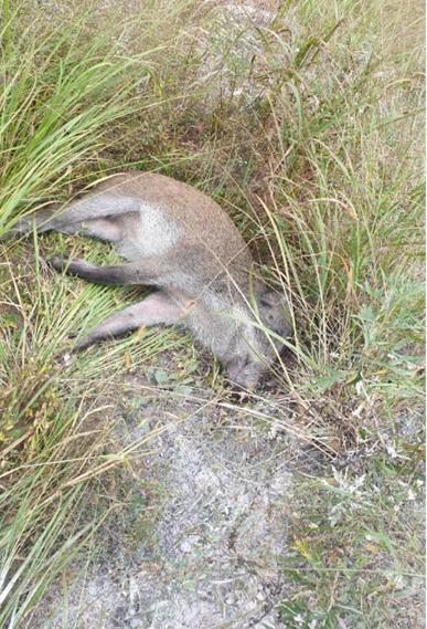 ▲아프리카돼지열병으로 폐사한 야생 멧돼지(사진 제공=환경부)