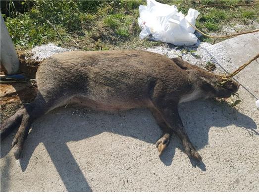 ▲아프리카돼지열병으로 감염된 야생 멧돼지. (사진 제공=환경부)