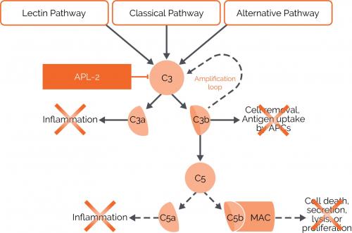 ▲APL-2 작용기전(Apellis pharmaceuticals 홈페이지)