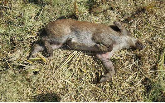 ▲아프리카돼지열병에 걸린 멧돼지 사체(사진 제공=농림축산식품부)