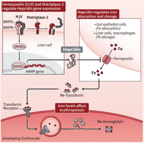 ▲헵시딘 분비 및 혈구생성 조절과정(디스크 메디슨 홈페이지)