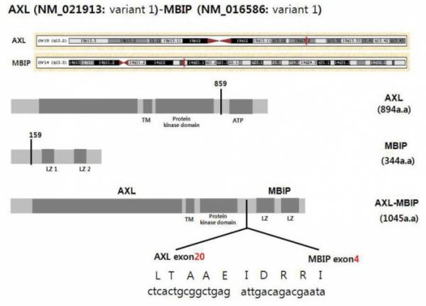 ▲AXL 유전자와 MBIP 유전자가 결합해 만들어진 AXL-MBIP 융합유전자의 모식도