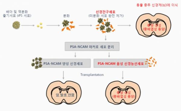 ▲배아줄기세포 세포치료제 기전(에스바이오메딕스 홈페이지 참조)